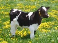 Cows2_05